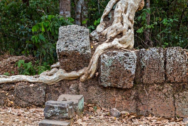 корни баньяна в животиках Prohm сложном Angkor Wat руин в Siem Reap, Камбодже стоковое фото