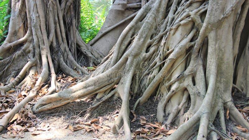 Корни баньяна в тропическом лесе стоковая фотография rf