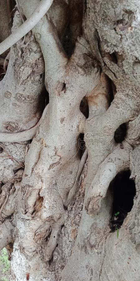 Корни баньяна и текстурированная поверхность обои предпосылки природы, стоковые фотографии rf