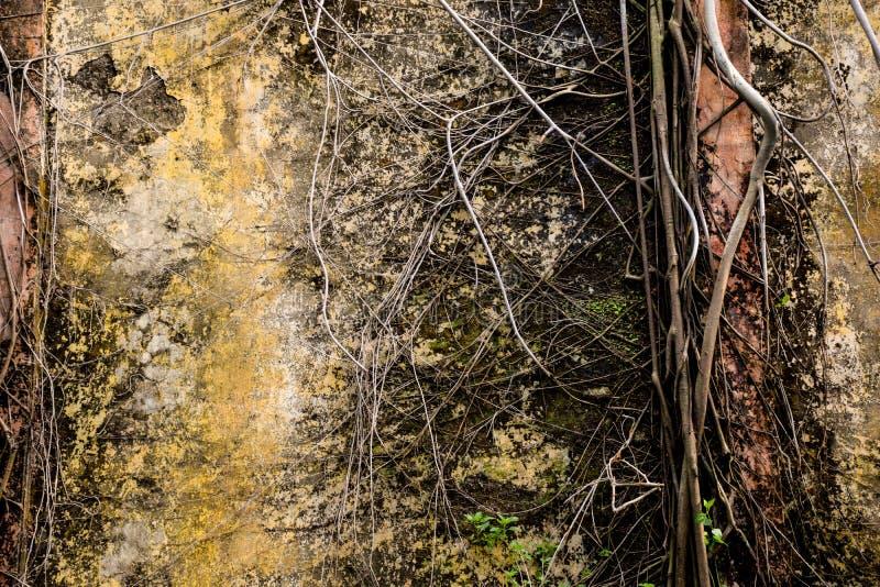 Корни баньяна покрытые на стене повреждения стоковое фото rf