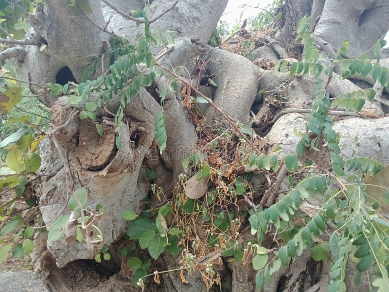 Корни выросли над большим утесом, корни дерева, который дерева лаяют текстура, обои предпосылки творения природы стоковая фотография rf