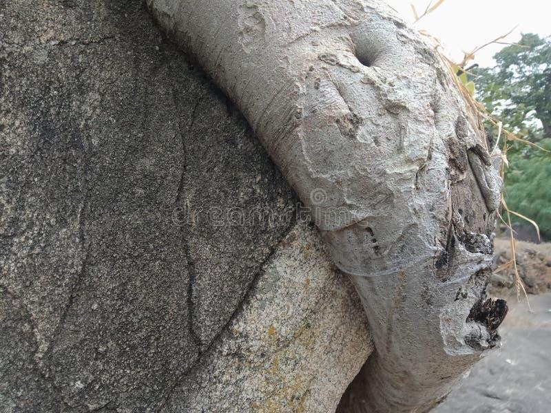 Корни выросли над большим утесом, корни дерева, который дерева лаяют текстура, обои предпосылки творения природы стоковые изображения