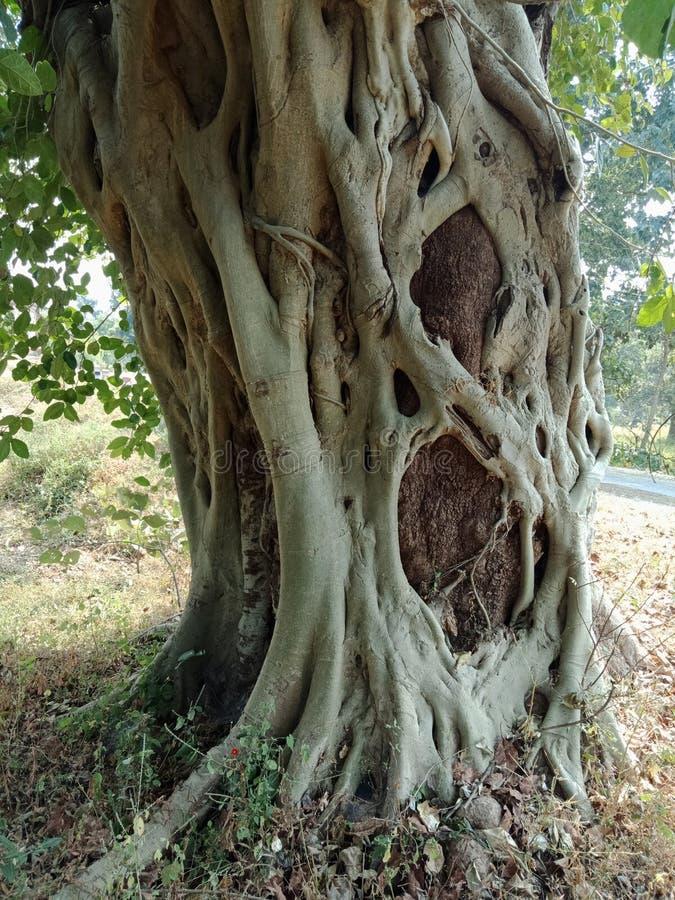 Корни выросли над деревом, корни дерева, который дерева лаяют текстура, обои предпосылки творения природы стоковое изображение