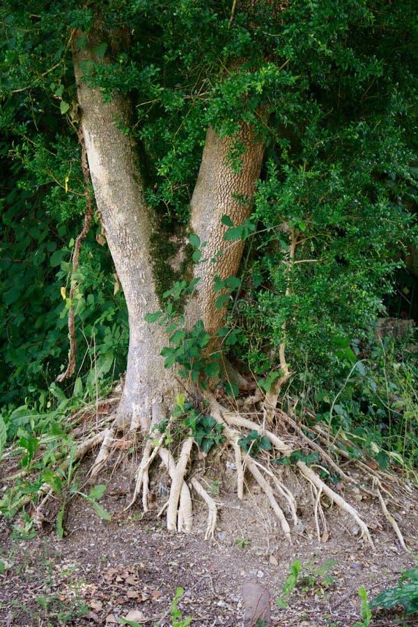 Корни дерева и зеленые листья на том основании Природа, дизайн экологичности окружающей среды стоковые изображения