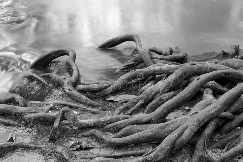 Корни дерева на потоке пущи стоковое фото