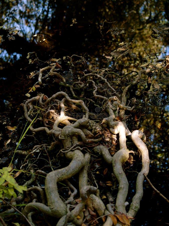 Корни дерева разваливаются в воду стоковые изображения rf