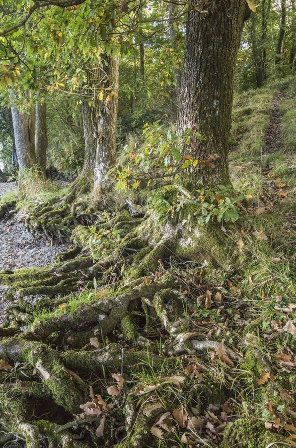 Корни деревьев, который подверг действию берег озера на озере Windermere стоковые фотографии rf