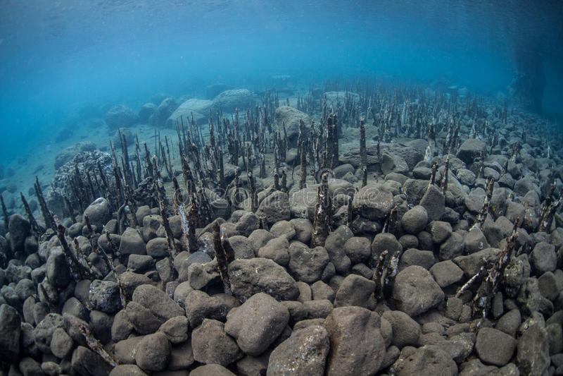 Корни мангровы и скалистое морское дно стоковая фотография rf