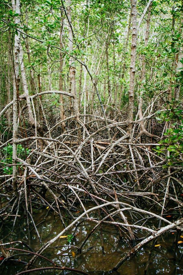 Корни мангровы достигают в мелководье в лесе растя в t стоковые изображения