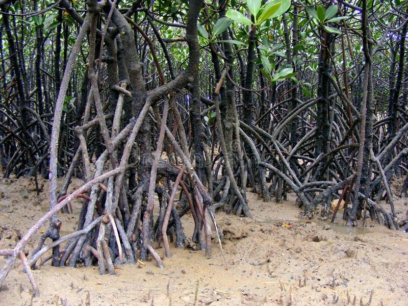 Корни мангровы стоковые изображения rf