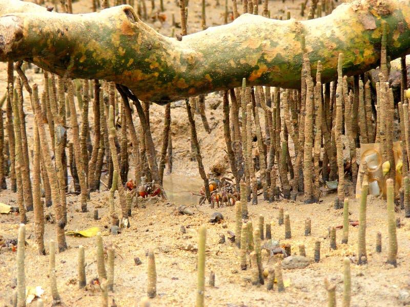 Корни мангровы стоковое изображение
