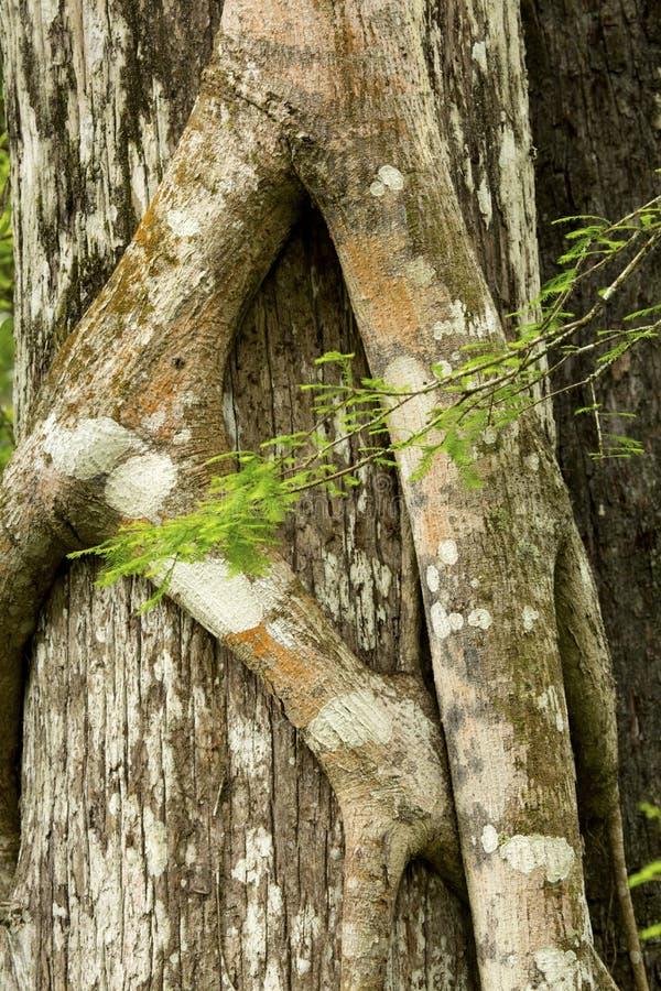 Корни смоквы душителя плотно сжимают кипарис Флориды стоковые изображения