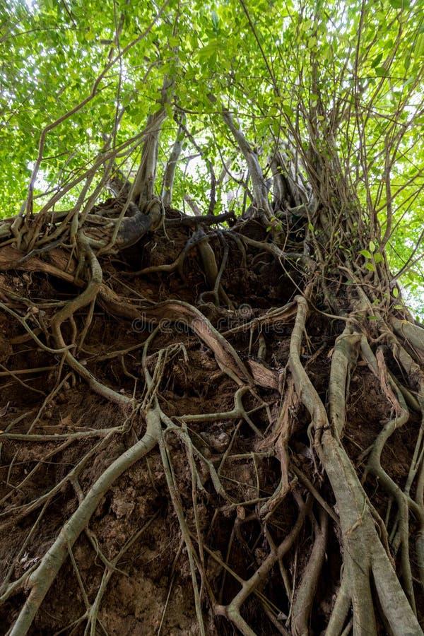Корни смоковницы баньяна тропические стоковое изображение rf