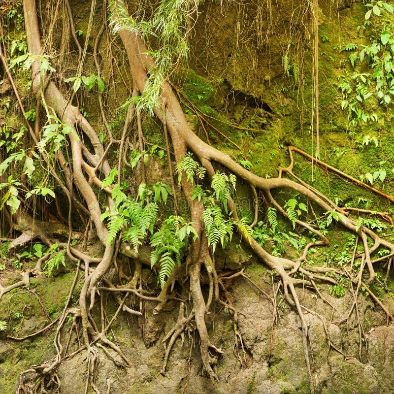 Корни тропического дерева в почве выветренной дождем стоковые фото