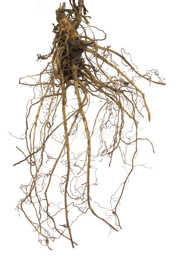 корни стоковое фото rf