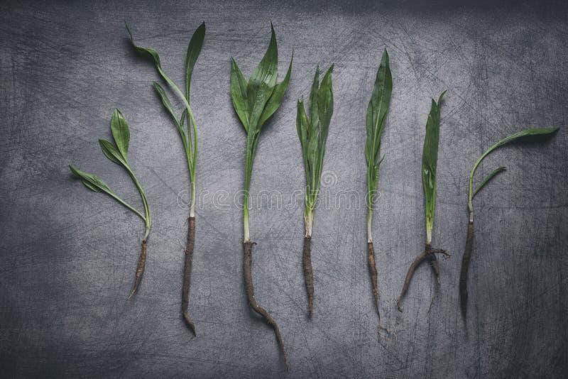 Корни Salsify с зелеными ветвями на деревенском Scratchy Backgrou стоковые изображения rf
