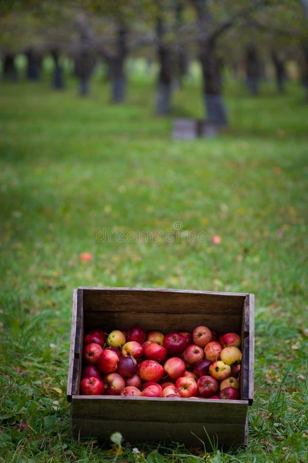 коробка яблока стоковая фотография