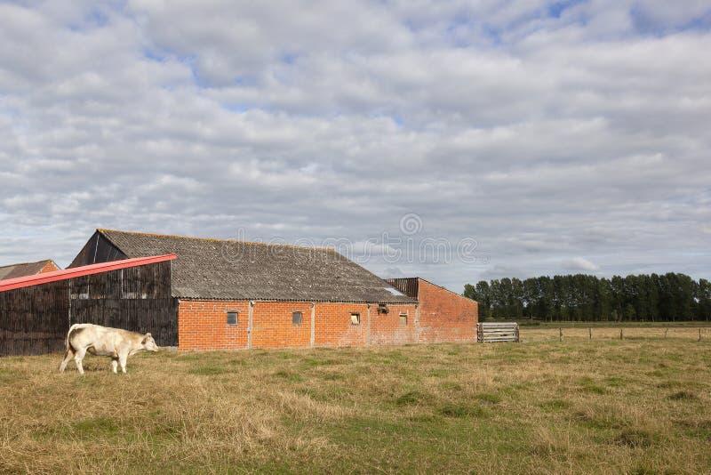 Корова амбара и мяса в луге Фландрии между Гентом и Брюгге внутри стоковая фотография rf