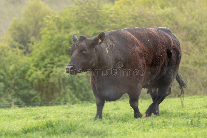 Корова Ангуса идя вниз на поле стоковое фото rf