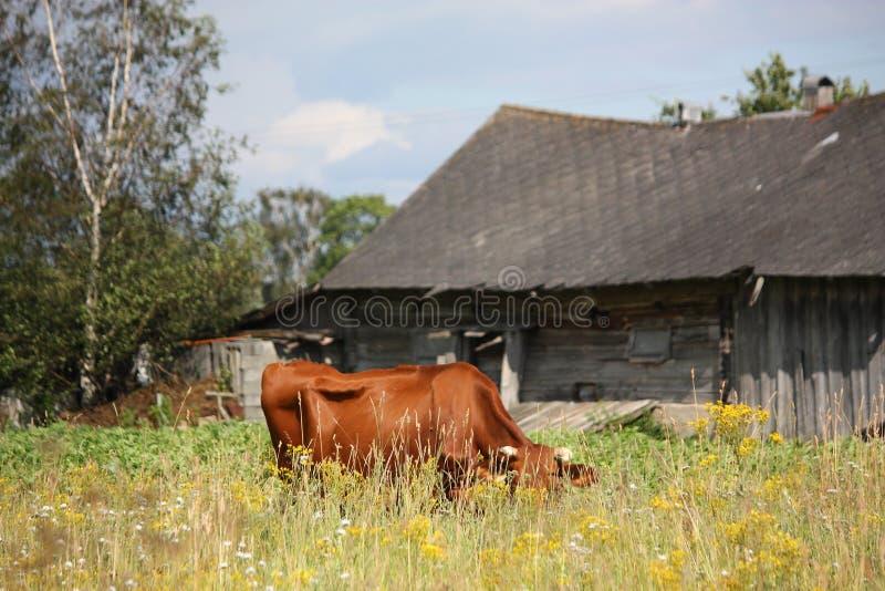 Корова Брайна латышская на выгоне около деревянного амбара стоковые изображения