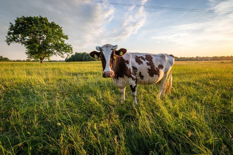 Корова в выгоне в латышской сельской местности перед заходом солнца стоковое изображение rf