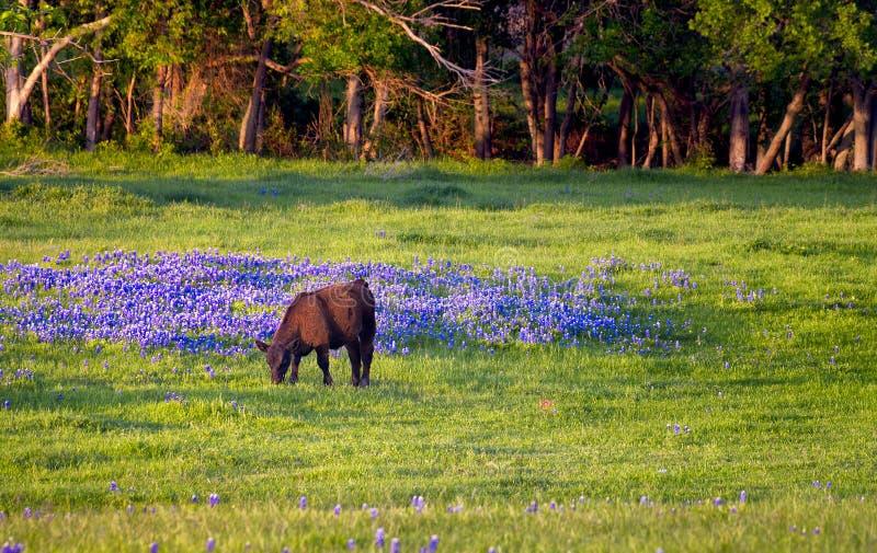 Корова в поле Bluebonnets стоковые изображения