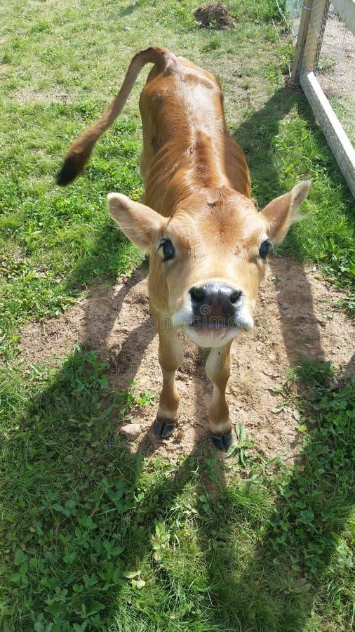 Корова Джерси стоковые изображения rf