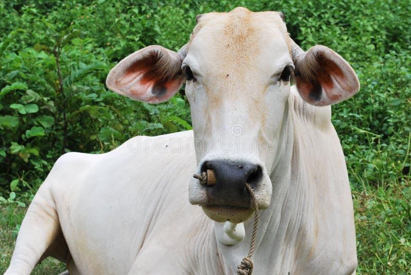 Корова лежа одно стоковая фотография rf