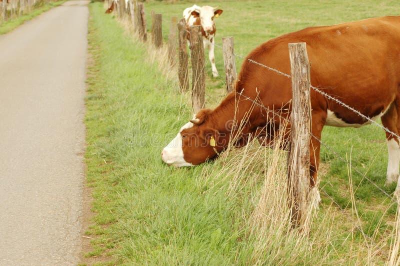 корова ест траву стоковые изображения