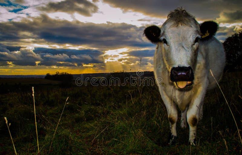 Корова захода солнца стоковые изображения