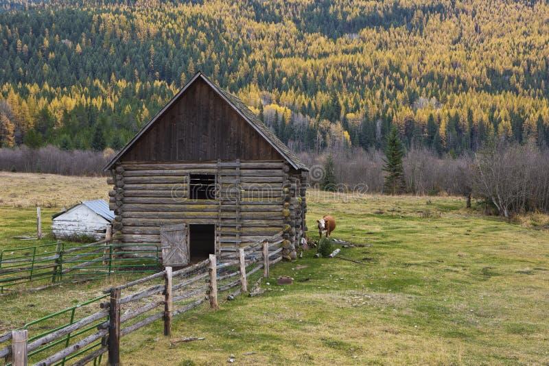 Корова за амбаром в северном Айдахо стоковые фото