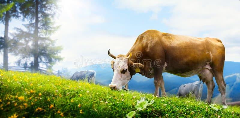 Корова искусства пася в луге горы; экологическое поголовье стоковые изображения rf