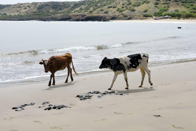 Корова и Брайн Bull на пляже песка, животных естественном мире, перемещении Африке стоковые изображения rf