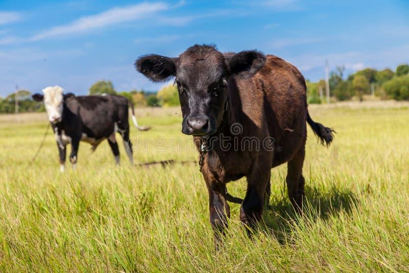 Корова и икра стоковое изображение