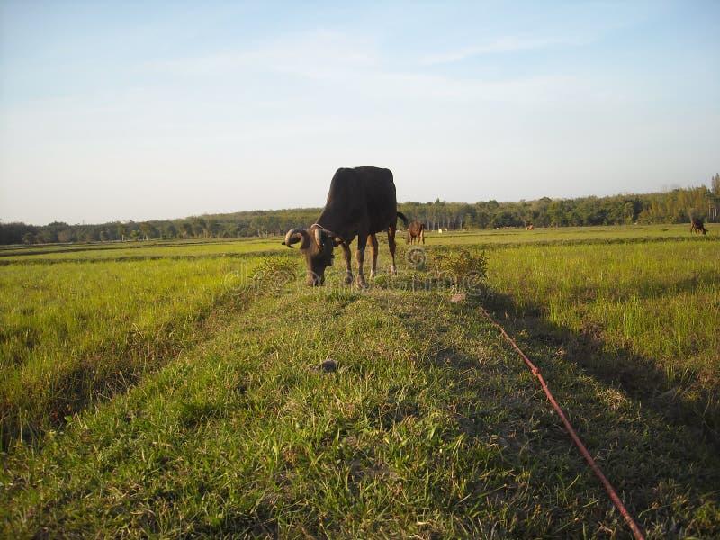 Корова и нива стоковая фотография rf