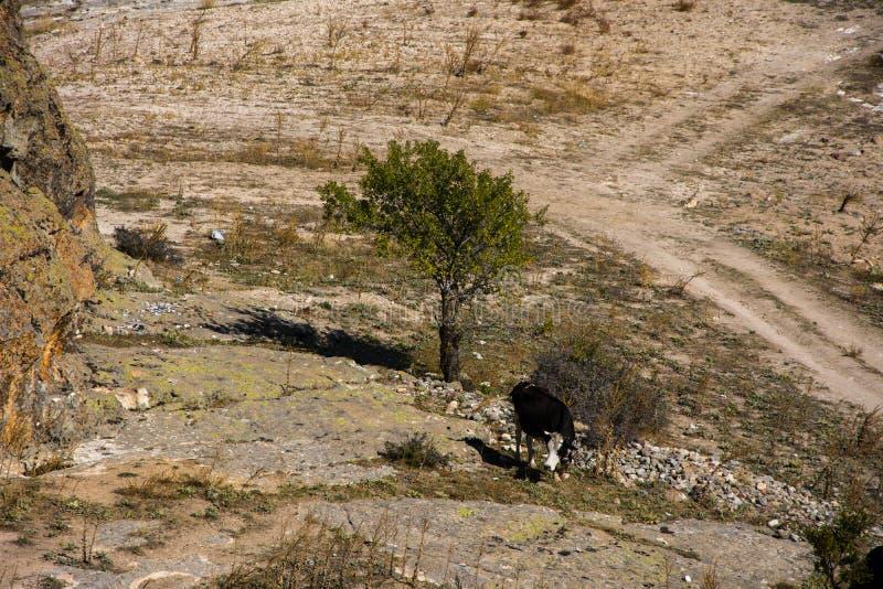 Корова левая свободно к выгону в природе стоковое фото