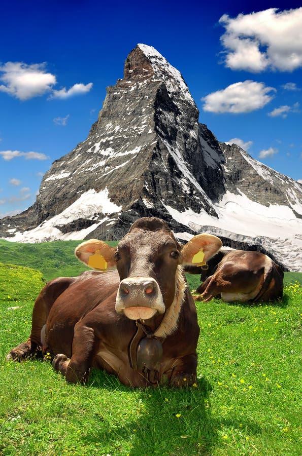 Корова лежа в швейцарском альп стоковые фотографии rf