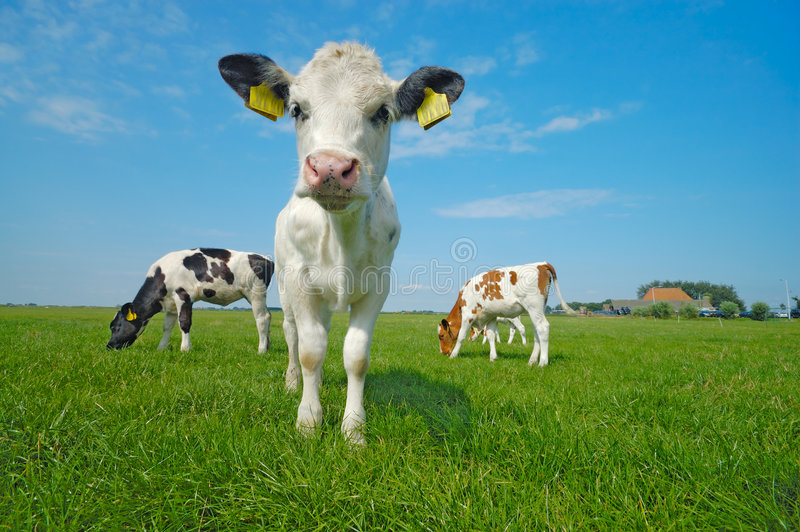 корова младенца милая стоковые фото