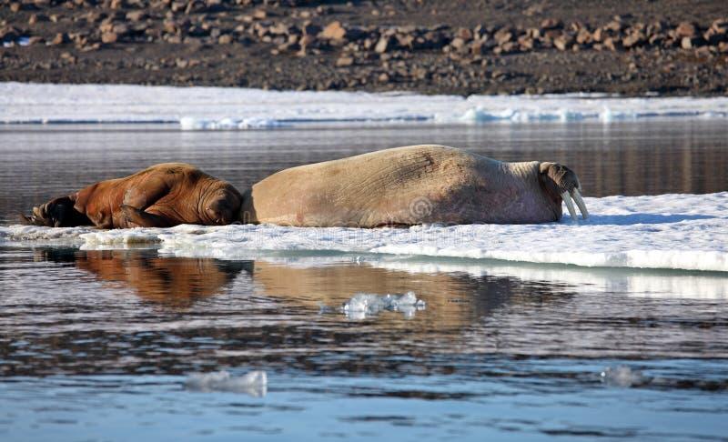 Корова моржа с новичком стоковая фотография