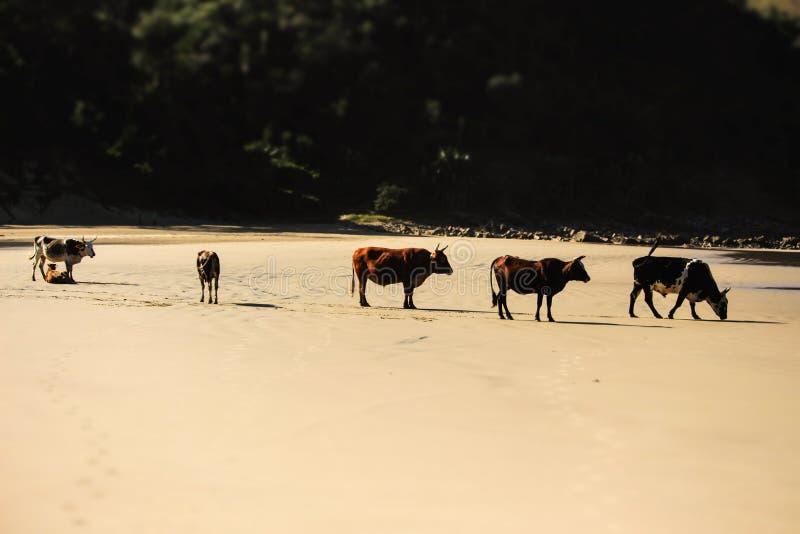 Корова на пляже 3 стоковая фотография rf