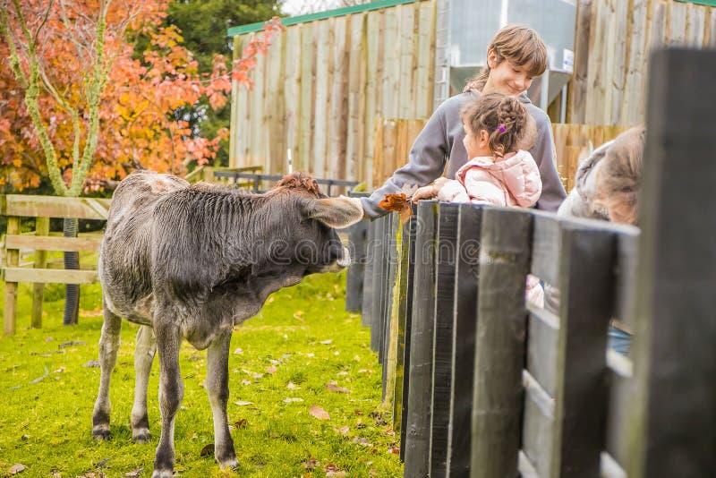Корова на ферме стоковая фотография rf