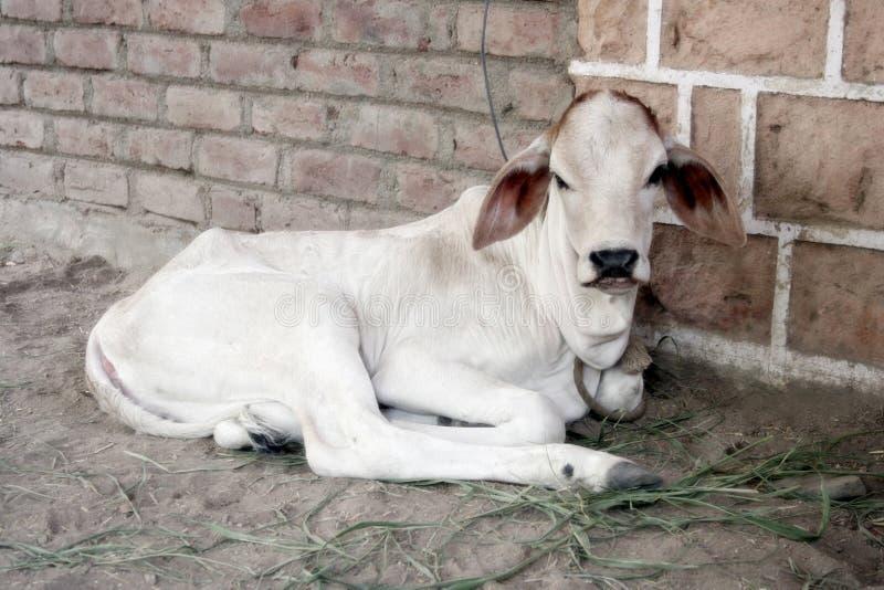 корова немногая стоковое изображение