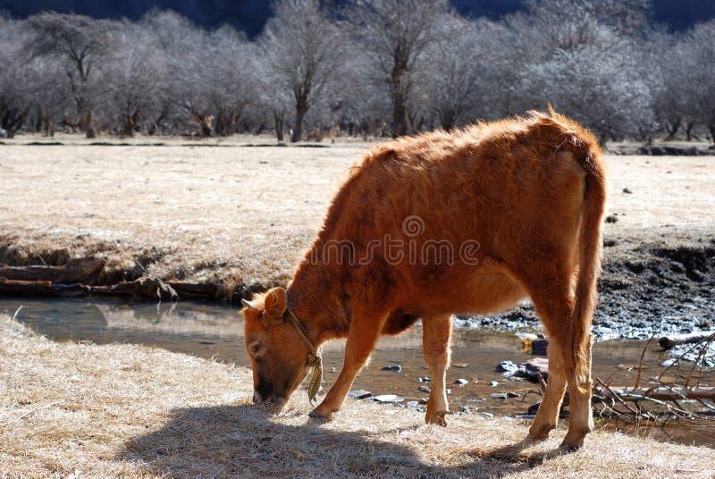 корова пасет