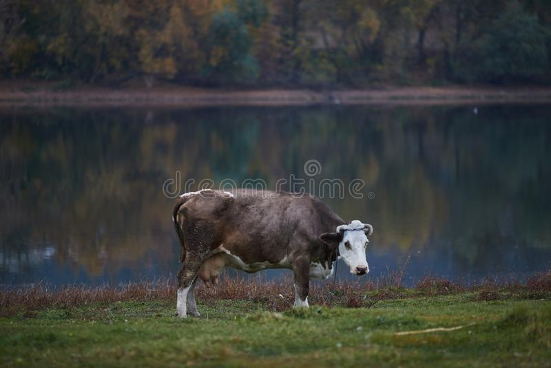 корова пася лужок стоковые фотографии rf