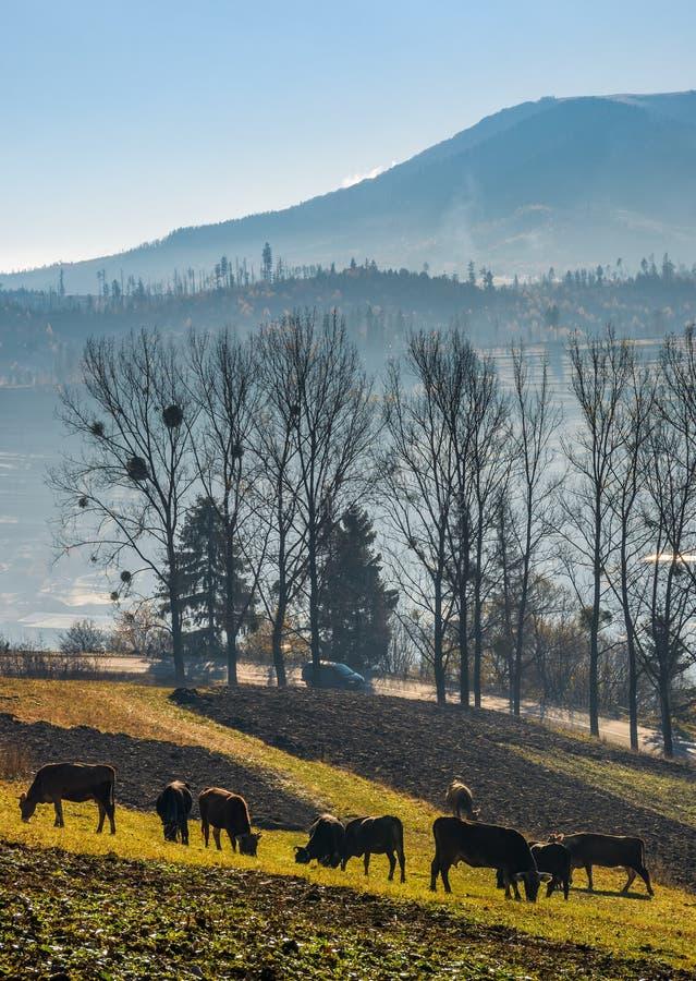 Корова пася на горном склоне в осенней сельской местности стоковое изображение rf