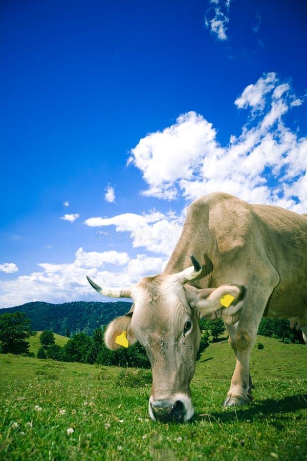 корова пася холм стоковое фото