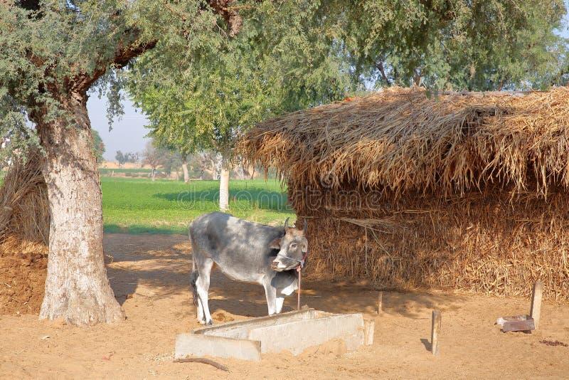 Корова перед хатой фермы с сеном в сельской местности Nawalgarh, Shekhawati, Раджастхане, Индии стоковое изображение rf