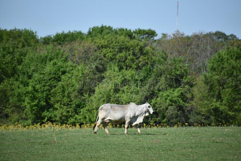 Корова Brahma в открытом поле стоковые изображения