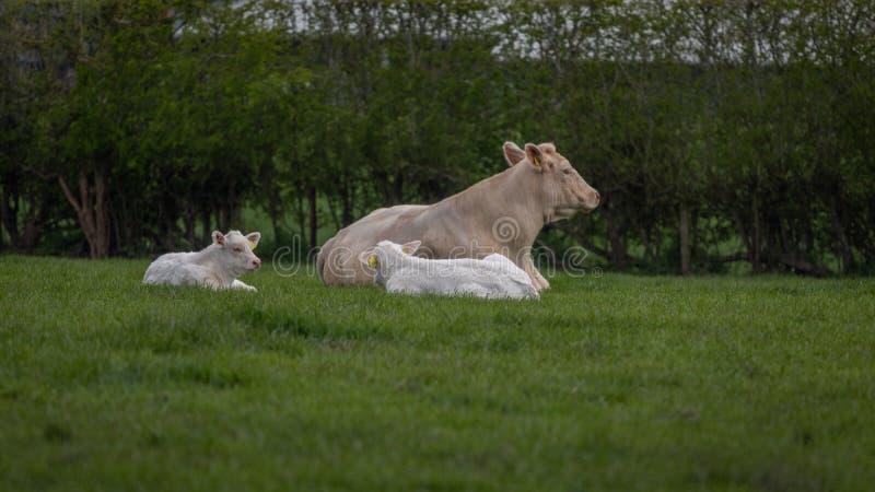 Корова Charolais охлаждая вне с ее 2 икрами/младенцами стоковая фотография rf