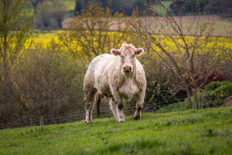 Корова Charolais смотря камеру стоковые изображения rf